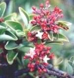 Sândalo Odor balsâmico que recorda o da madeira de sândalo e da árvore do mesmo nome, característico de alguns vinhos de qualidade.