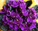 Violeta Odor floral muito agradável, que recorda o exalado pelas violetas, dado pela ionona, que pode ser detectada em certos vinhos, como os de Touriga Nacional.