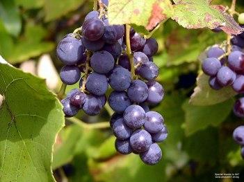 bulgarian-grapes