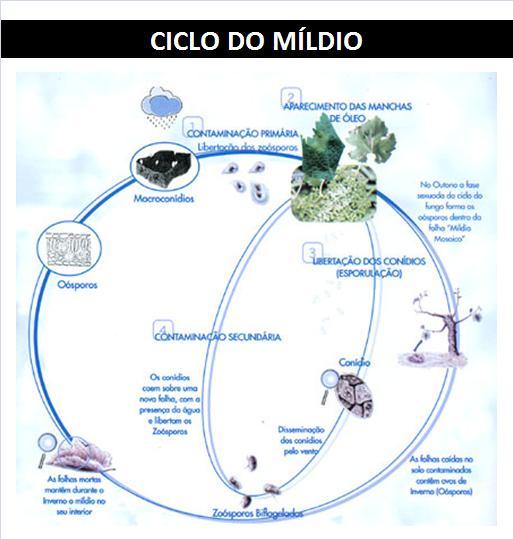 CICLO MILDIO