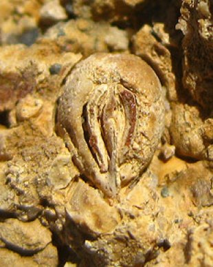 fossil de uva