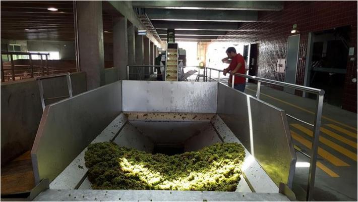 Chardonnay para base espumante
