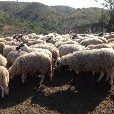 ovelha-churra-14