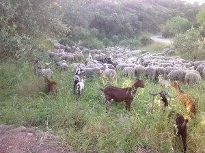 ovelha-churra-16
