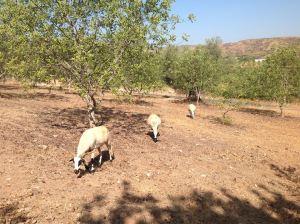 ovelha-churra-5