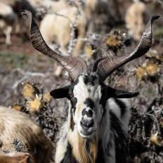 ovelha-churra-7