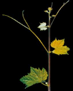 arinto-ramo