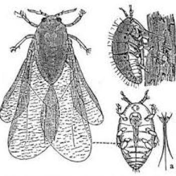 filoxera-2