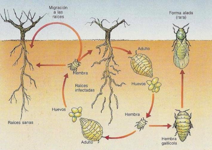 filoxera-3
