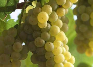 castas-brancas-chardonnay-3