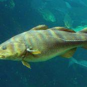 bacalhau-gadus-morhua-6