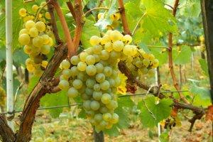 vinha-chardonnay-moldova