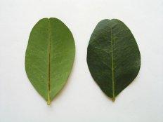 ceratonia-siliqua-3