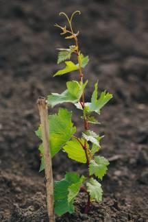 cricova-winery-vinhas-5