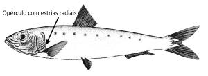 sardinha-sardina-pilchardus-2