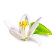 flor-laranjeira