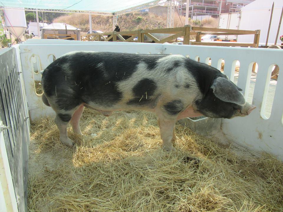 capa-porco-malhado-de-alcobaca