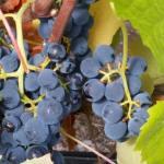 CM Wines TN 5
