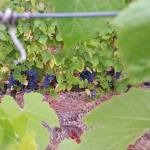 CM Wines TN e Alfrocheiro 3