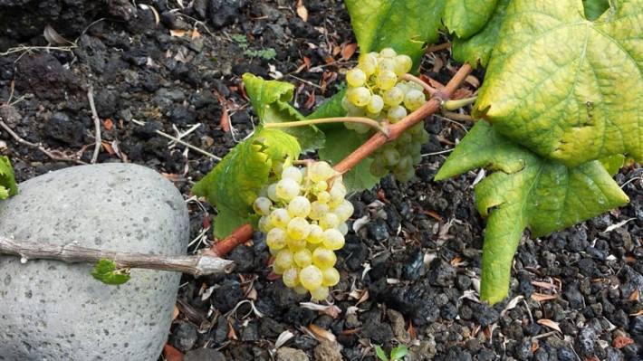 vinho-do-pico-8 verdelho 4