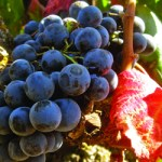 remote_glossary-grape-varieties-alicante-bouschet