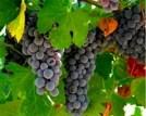 uva-tinta-roriz