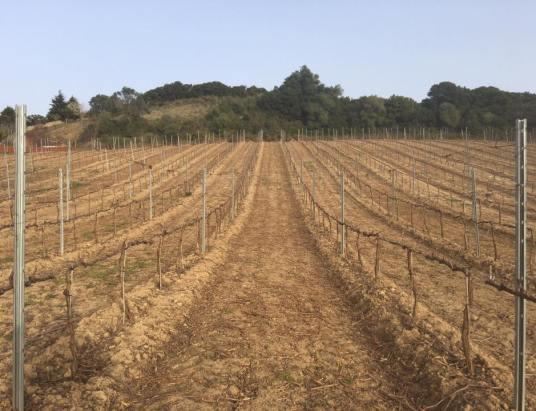 Em vinhas de Merlot da Quinta do Cerrado da Porta, Sobral de Monte Agraço