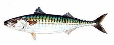 atlantic-mackerel-398-157