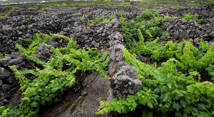 vinhas do Pico, património da UNESCO