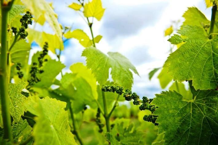 Vinhos com Denominação de Origem Controlada de Torres Vedras