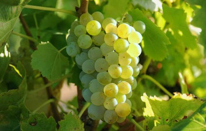 Perfumada e Delicada Casta Branca Chardonnay 5