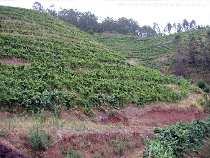 Região do Vinho da Madeira e como se produz 8