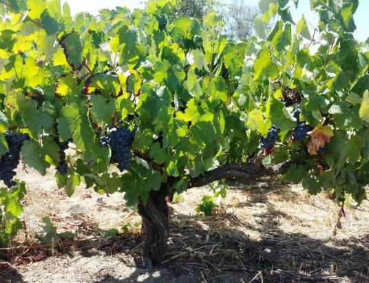 Vinhos com Denominação de Origem Tejo da Sub Região de Almeirim