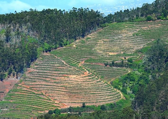 Região do Vinho da Madeira e como se produz 9
