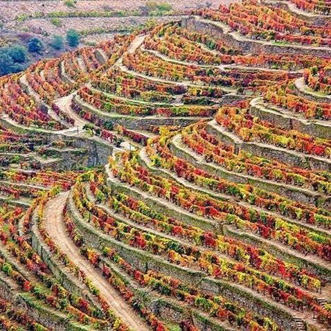 Cores dos socalcos da  Quinta de Sta Eugénia no Outono, em contraste com a imagem de capa