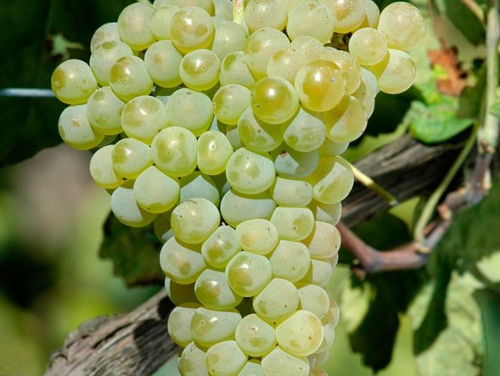 big_vinhosverdes_planta