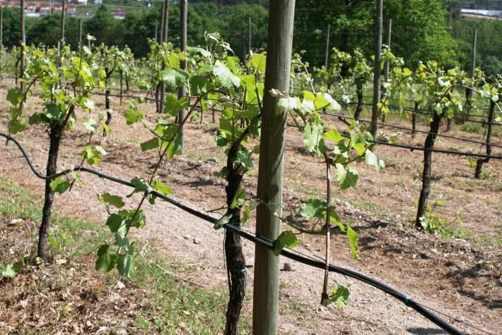 vinhas conduzidas com podas em Guyot Empa e sobrepostos