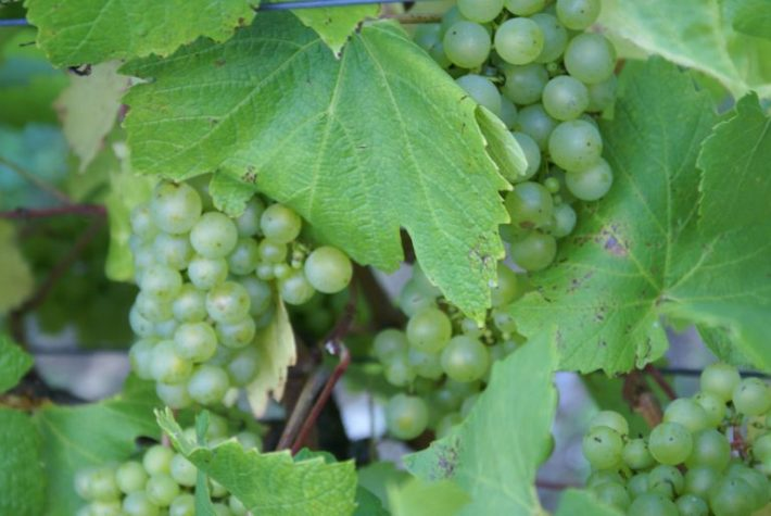 Impacto do Aquecimento Global na Viticultura 2
