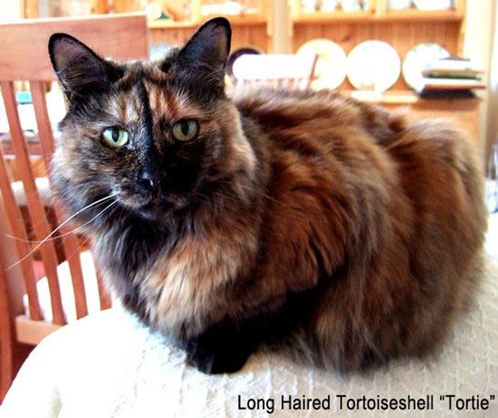 Long Haired Tortoiseshell Cat