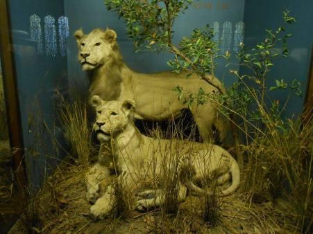 Des lions prêts à bondir