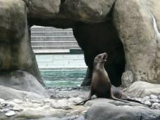Une otarie fait son show dans le zoo de Central Park