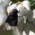 Large fly with black wings graduating to clear, and a blue-black body