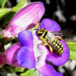 A. illustre (Megachilidae) on Penstemon spectabilis