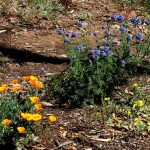 Wildflower seeds sown in June 2016 and left uncovered produced a nice bloom of wildflowers in April 2017: Eschscholzia californica (poppies), blue Gilia capatita, yellow Camissoniopsis bistorta (sun cups), and white Cryptantha intermedia (popcorn flower).