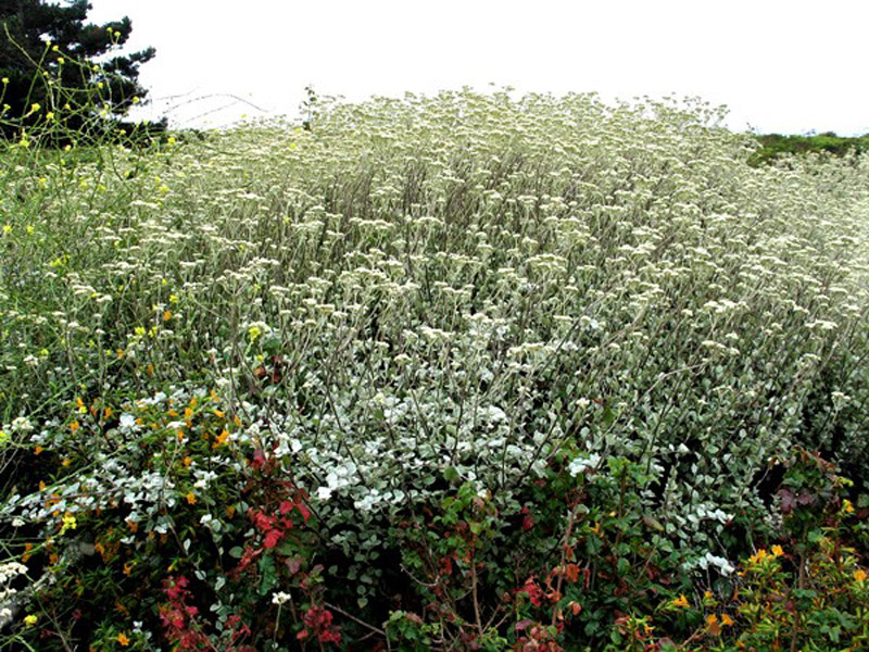 Invasive licorice plant. Credit Dan Gluesenkamp.