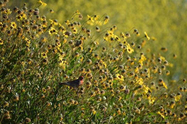 Bird in Coast Sunflower Photo: Tony Tubbs
