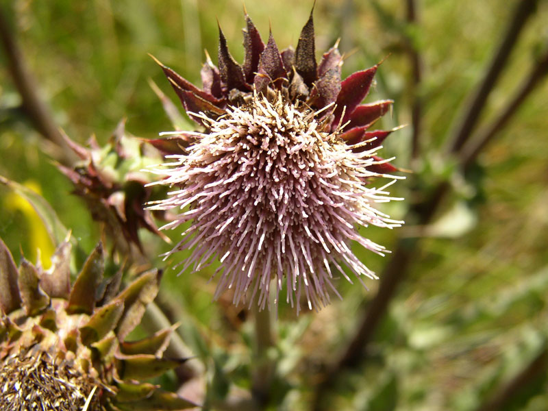 Cirsium fontinale obispoense. Credit David Magney.