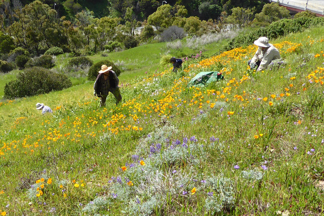 CNPS Yerba Buena chapter volunteers clearing invasives on a Bay Area hillside.