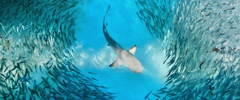 A white shark surrounded by tiny fishes