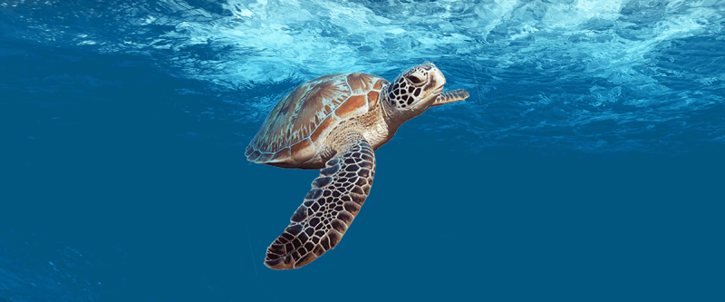Green sea turtle swimming with a wave